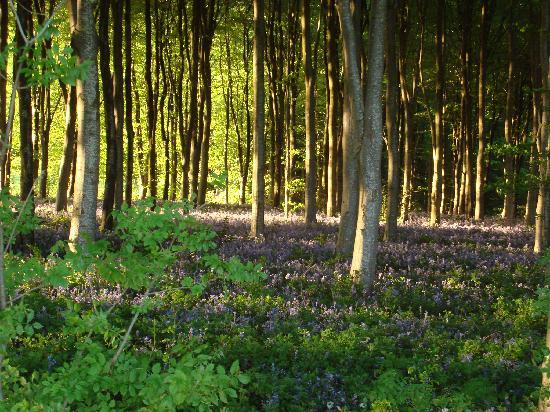 Parc-Le-Breos Guest House: carpet of bluebells in the forest