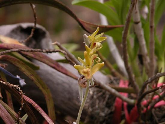 Phu Faek Forest Park: orchidea spontanea, eria albidotomentosa