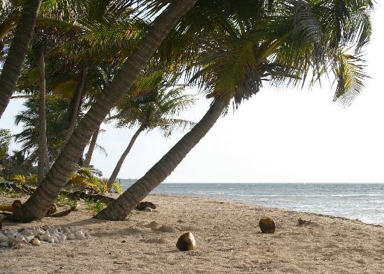 Playa Sonrisa: Coconuts on the beach