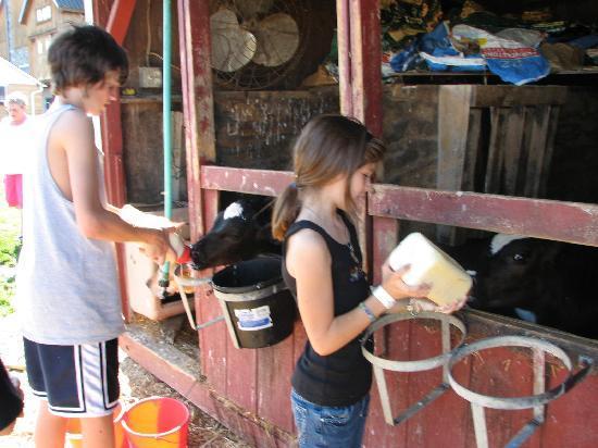 Eby Farm Bed & Breakfast: Feed a calf a bottle