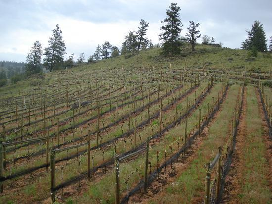Grape Escape Guest House : Vineyard adjacent to lodging