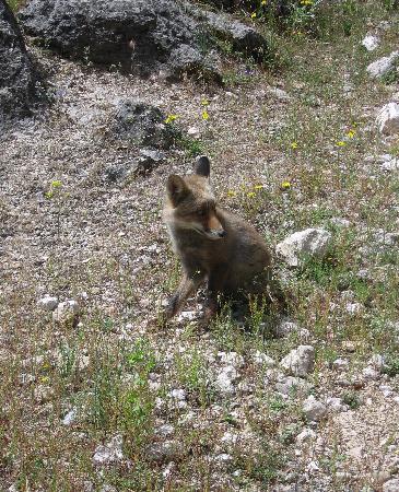 Parador de Cazorla: Fox near Parador