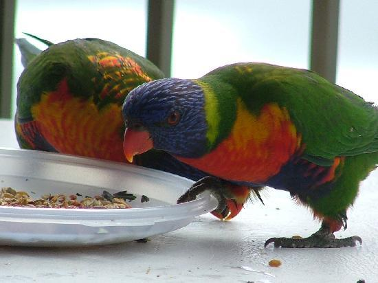 ‪برينسيس بالم أون ذا بيتش: Lorikeets feeding on the Balcony‬