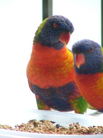 Princess Palm On The Beach: Lorikeets again
