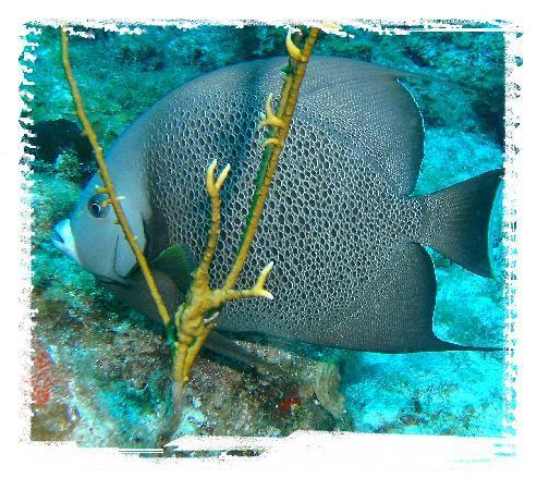 Nagy-Kajmán: Grey Angel Fish in Grand Cayman