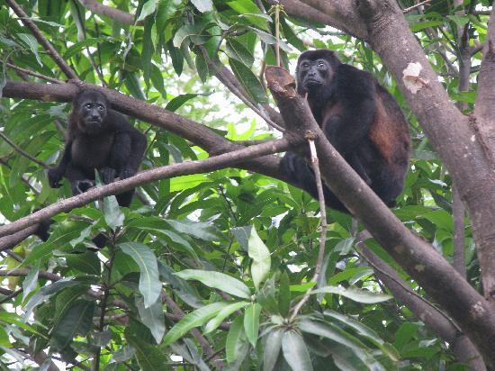 Hotel Mauna Loa: monkeys nearby