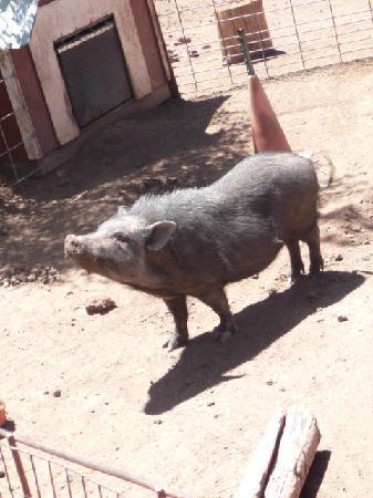 Williams, AZ: Charlotte the Piggee