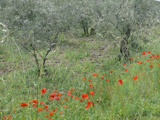 Margherita Holiday Home : Beautiful poppy's blooming in May