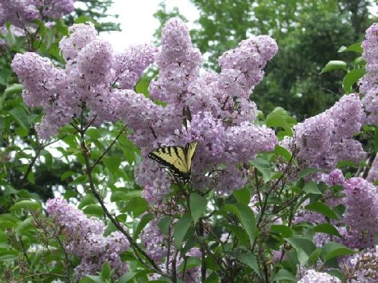 Averill, VT: Lilac and Butterfly