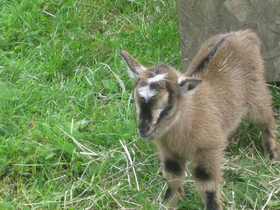 Le Moulin de Prat: baby goat