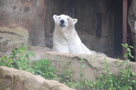Lincoln Park Zoo: the polar bear