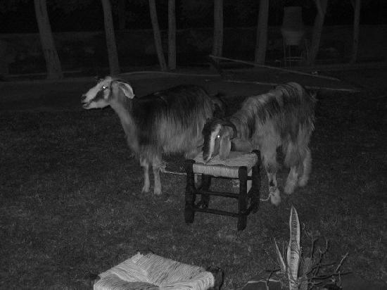 Nile Blue Tours: A goat at our amazing private dinner, complete with chefs, belly dancers, and hukkahs!