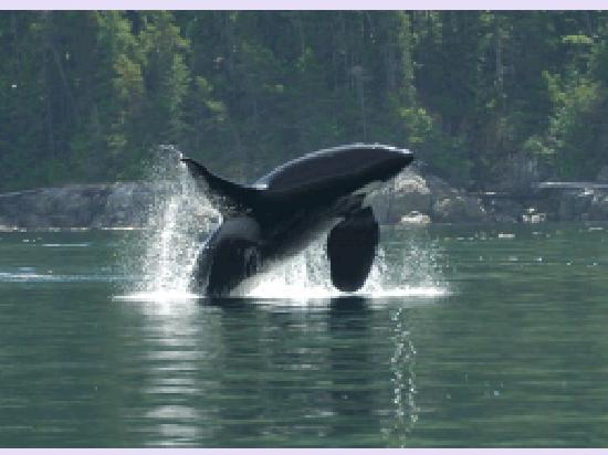 Campbell River, Canada: Orca Breaching
