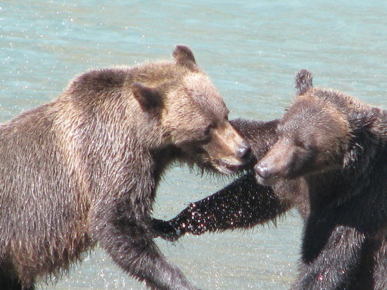 Aboriginal Journeys Wildlife and Adventure Tours: Grizzlys Play Fight