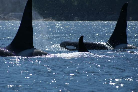 Campbell River, Kanada: Orcas in Johnstone Strait