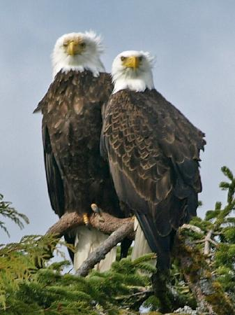 Campbell River, Canada: Bald Eagles