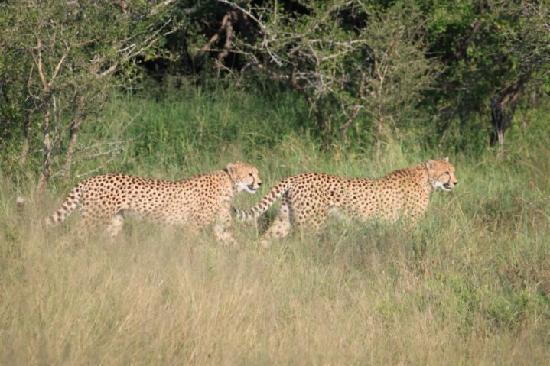 Thornybush Private Game Reserve, Sudáfrica: cheetah sisters