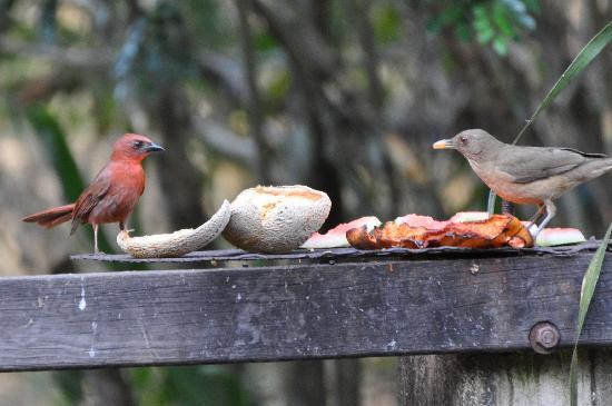 Crystal Paradise Resort: They had fruit out every day to attract birds