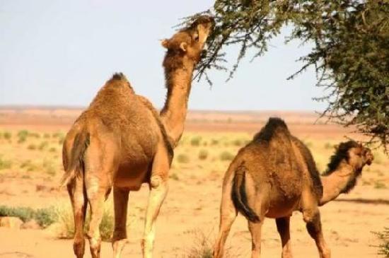 Moroccan Sahara: Kamel Trekking in der Sahara bei Merzouga