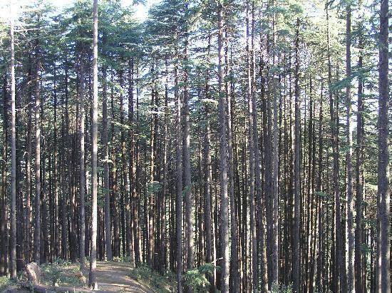Club Mahindra Kanatal: The deodar forest opposite the resort