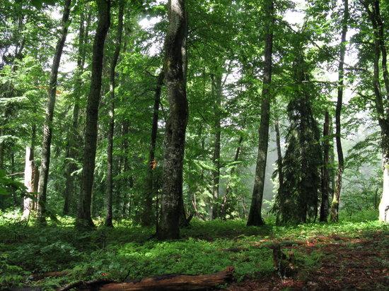 interier of Maramarosh primeval beech-fir-spruce forest (Ukraine)