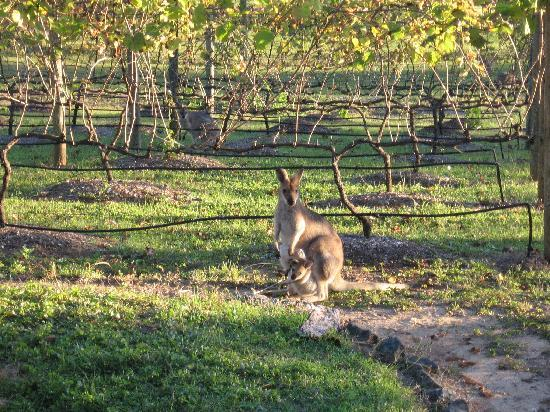 Wallaby Ridge Retreat: Wallabies enjoying the afternoon in the vineyard