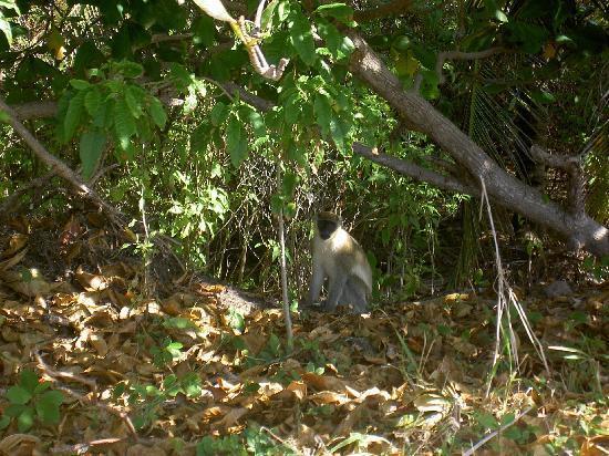 St. Kitts Captain Sunshine Tours: Local Nature Shot of Wild Monkeys (Captain Sunshine)