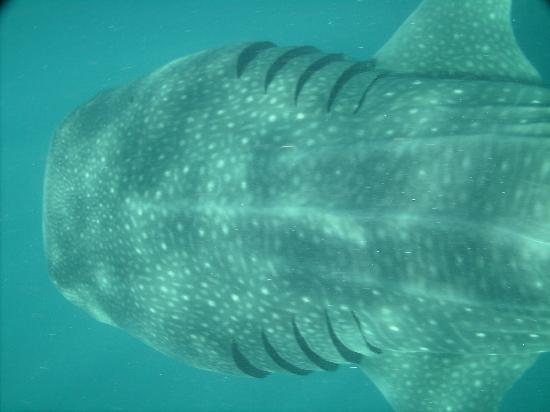 Holbox Whale Shark Tours: Walhai
