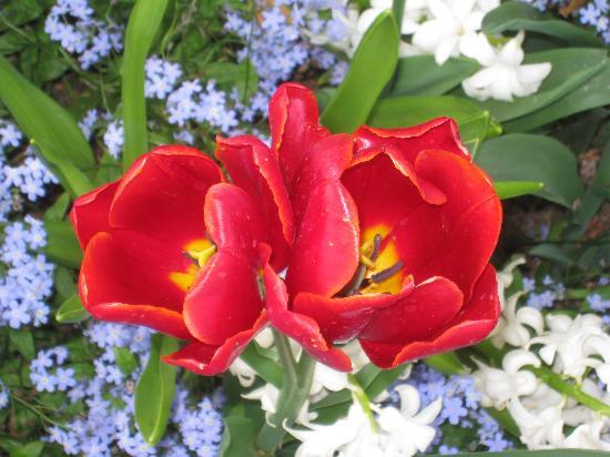 Butchart Gardens: Lovely tulips