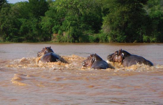 The Retreat Selous: Hippos
