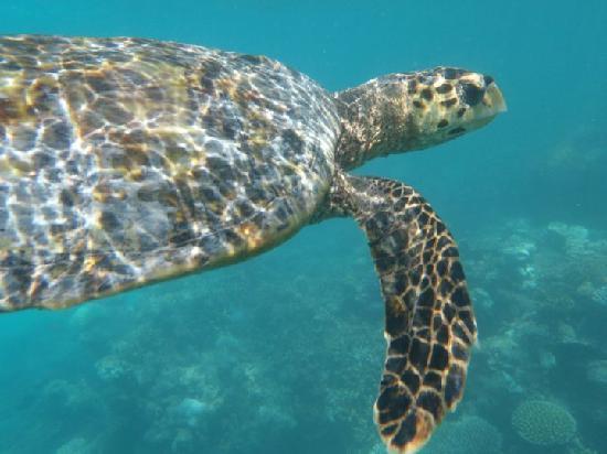 Baros Maldives: Turtles
