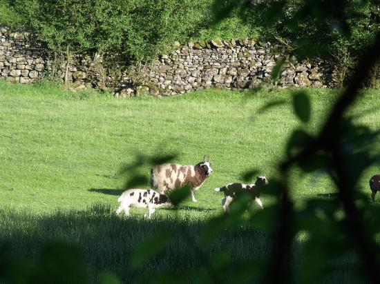 Crosthwaite, UK: Sheep in adjoining field