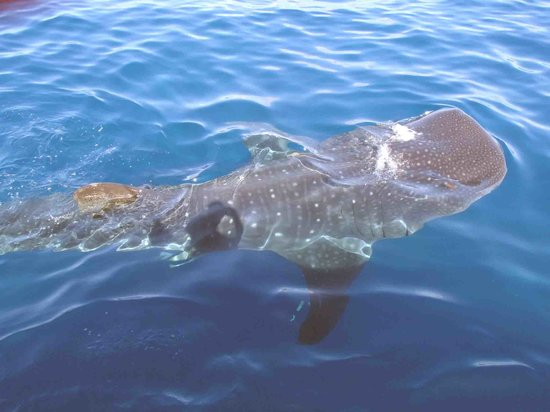 Holbox Whale Shark Tours