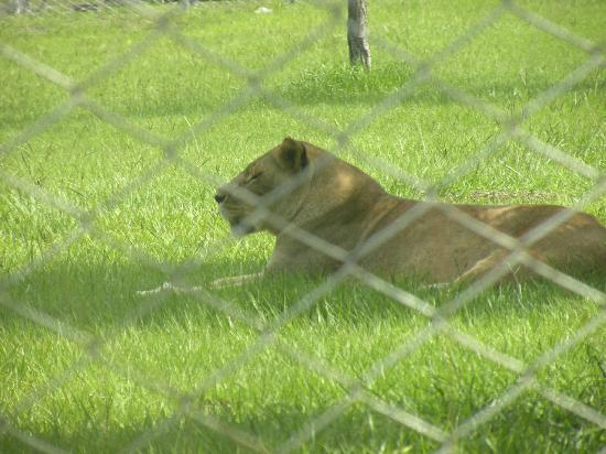 Lion Country Safari: Caged lioness