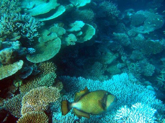 เวลิดุ ไอแลนด์ รีสอร์ท: Titan Triggerfish