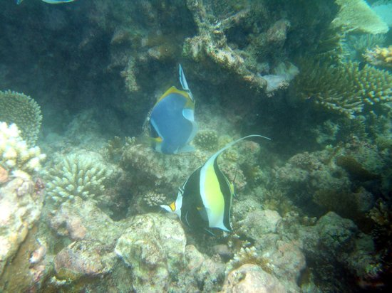 Velidhoo Island: Pennant Coral Fish/Blue Surgeon Fish