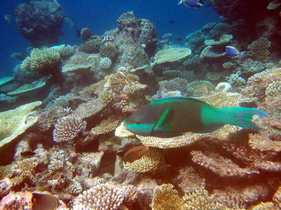 Velidhoo Island: ? Parrot Fish