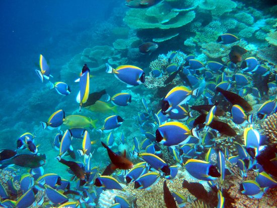 Velidhoo Island: Blue Surgeon Fishes @ Parrot Fishes