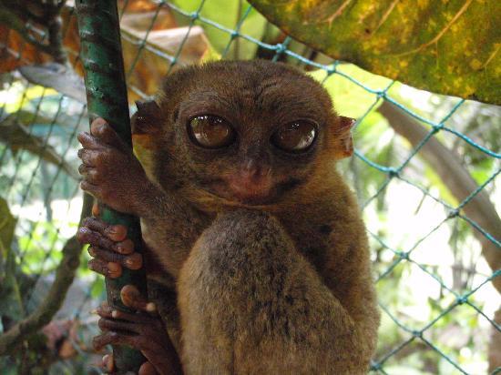 Philippine Tarsier and Wildlife Sanctuary: tarsier 1