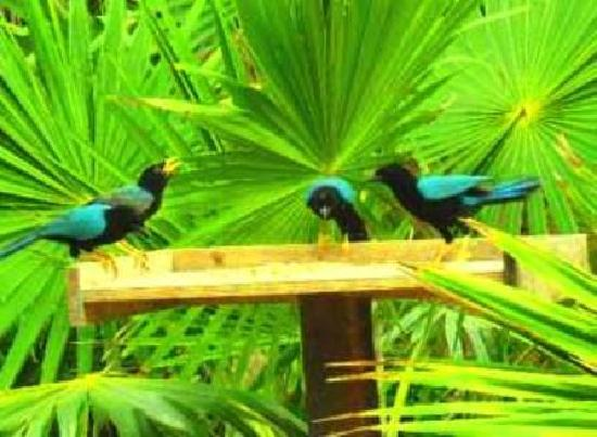 Casa Amor Del Sol: Yucatan Jays in Jungle Garden
