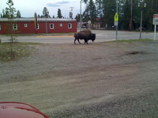 Yellowstone Wildlife Cabins : Bison photographed from front door