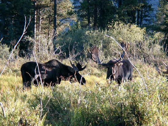 Romantic Riversong Bed and Breakfast Inn: Bull Moose in Rocky !