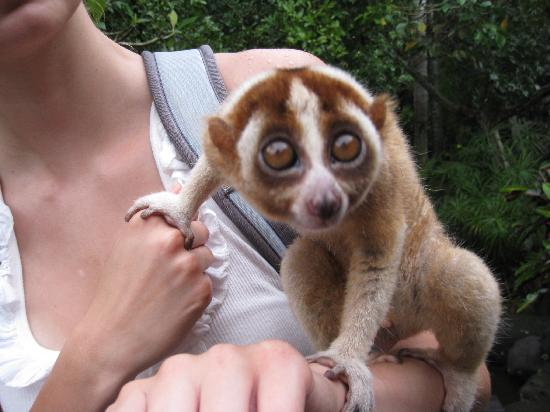 Holding a Slow Loris at Bali Zoo
