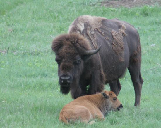 Custer State Park: Bison and Baby