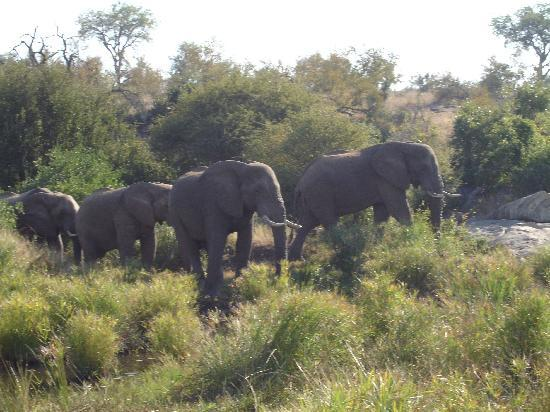 Timbavati Private Nature Reserve, Afrika Selatan: Elephnat - Big boys