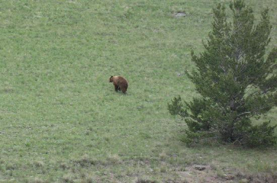 Rocking Z Guest Ranch: A Grizzly Bear on our last ride