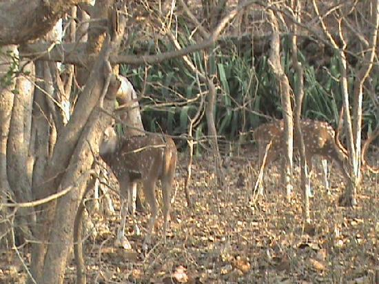 Gir National Park, อินเดีย: derr in gir