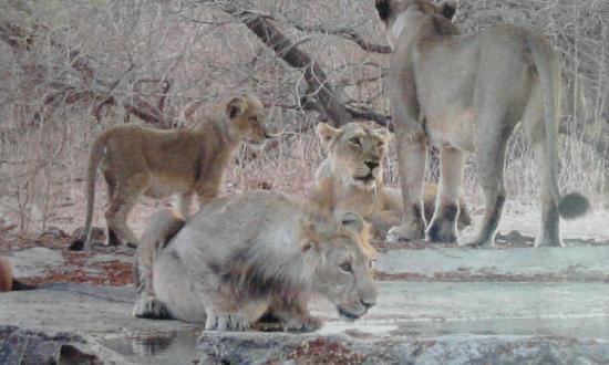 Gir National Park, Indien: lions at gir