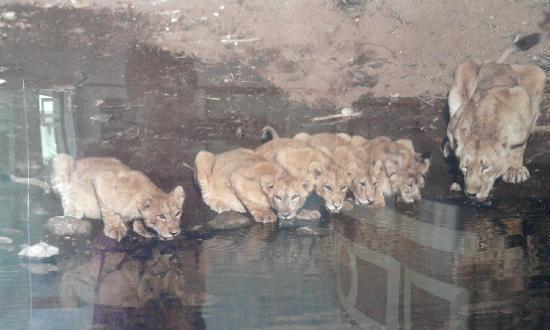 Gir National Park, Indien: lions and cubs at gir