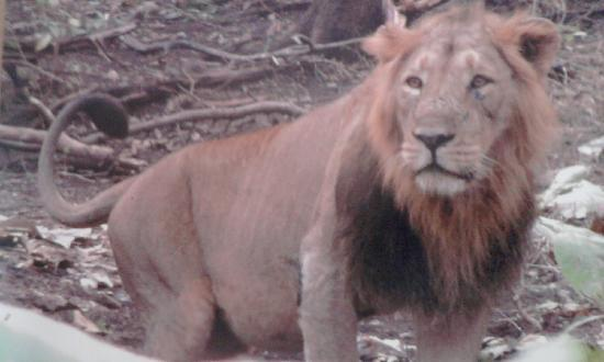 Gir National Park, Indien: lion